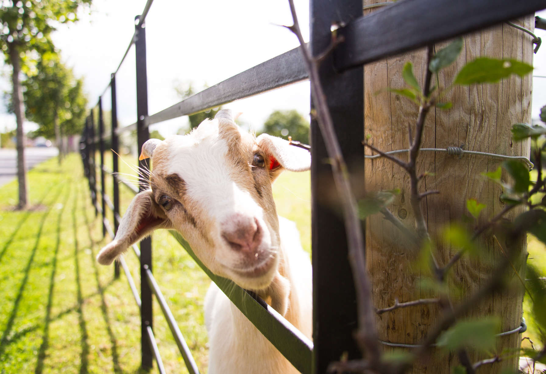Things to do in County Dublin, Ireland - Airfield Estate and Farm - Meet Billy the goat - YourDaysOut - Photo 3