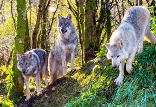 Things to do in County Donegal, Ireland - Wild Ireland Animal Sanctuary - Pack of Wolves at Wild Ireland  - YourDaysOut - Photo 2