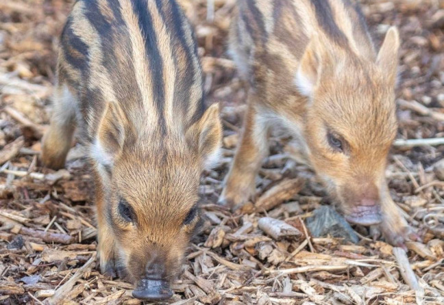 "Things to do in County Donegal, Ireland - Wild Ireland Animal Sanctuary - Wild Boar babies are known as ""Boarlets"" - YourDaysOut - Photo 3"
