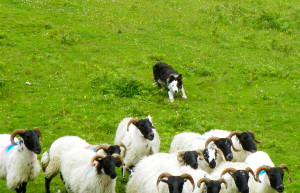 Things to do in County Galway, Ireland - Joyce Country Sheepdogs - YourDaysOut